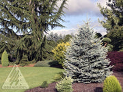 fat albert blue colorado spruce tree arboradvisor of colorado