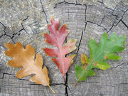 leaves of gambel oak tree in various shades of color arboradvisor of colorado