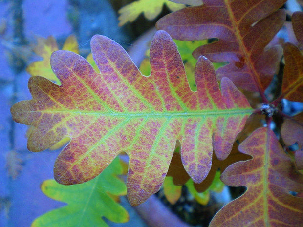 leaves of a gambel oak tree in various shades of color arboradvisor of colorado