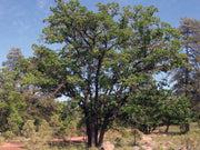 gambel oak tree arboradvisor of colorado