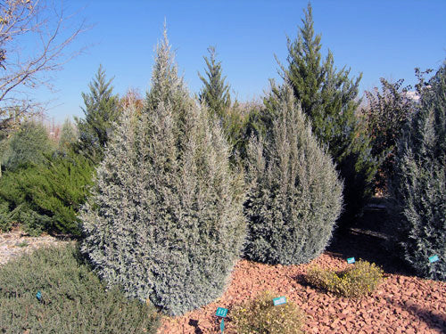 gray gleam juniper trees arboradvisor of colorado