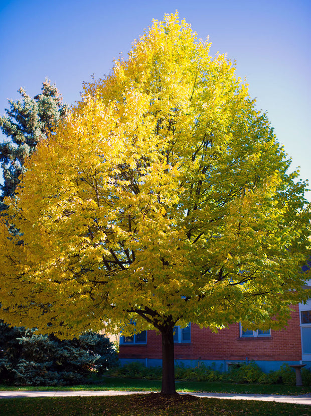 greenspire linden tree in shades of yellow arboradvisor of colorado
