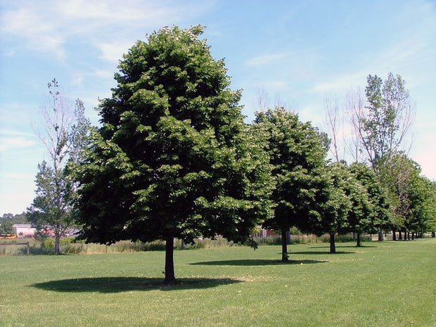 row of greenspire linden trees arboradvisor of colorado