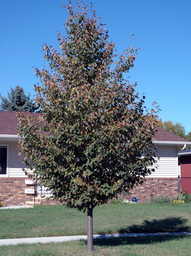 juvenile greenspire linden tree arboradvisor of colorado