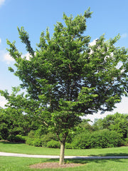western hackberry tree arboradvisor of colorado
