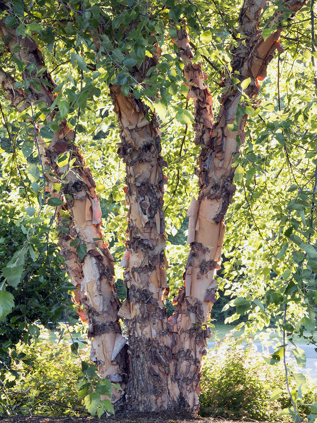 bark and trunk of a heritage river birch tree arboradvisor of colorado
