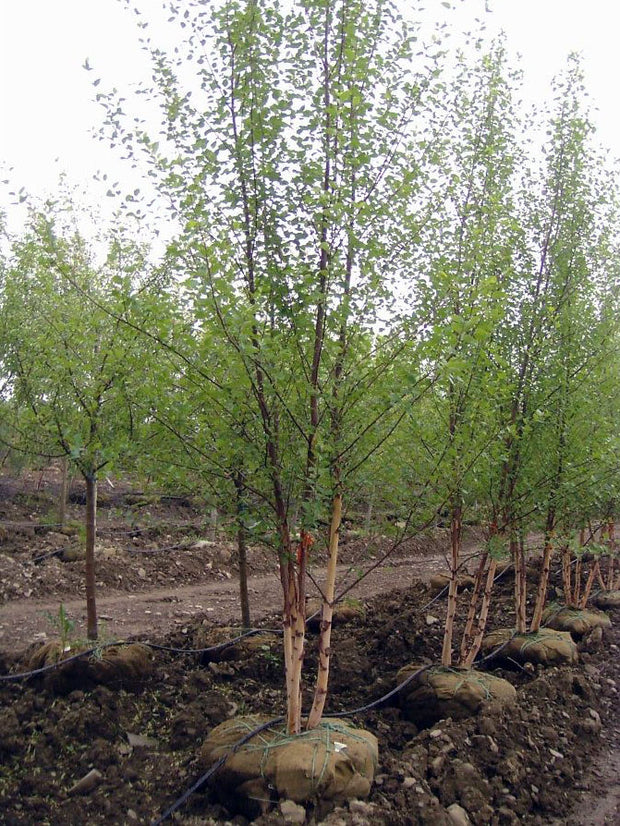 row of heritage river birch trees arboradvisor of colorado