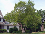heritage river birch tree in front yard arboradvisor of colorado