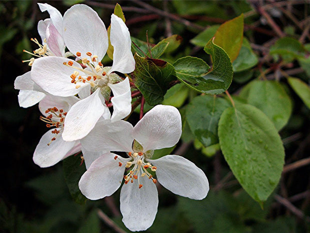 flowers of a honeycrisp apple tree arboradvisor of colorado