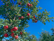 honeycrisp apples growing on the tree arboradvisor of colorado