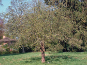 honeycrisp apple tree arboradvisor of colorado