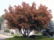 hot wings tatarian maple tree arboradvisor colorado