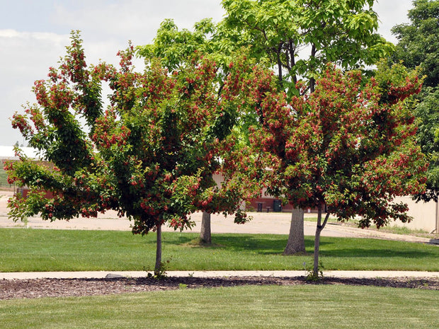 juvenile hot wings tatarian maple trees arboradvisor colorado