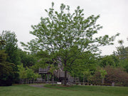 imperial honeylocust tree arboradvisor colorado