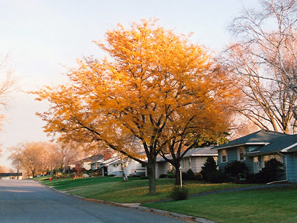 imperial honeylocust tree in the fall arboradvisor colorado