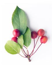 leaves and fruit of an indian magic crabapple tree arboradvisor of colorado