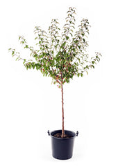 indian magic crabapple tree in a bucket arboradvisor of colorado