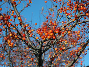 fruit of an indian magic crabapple tree arboradvisor of colorado