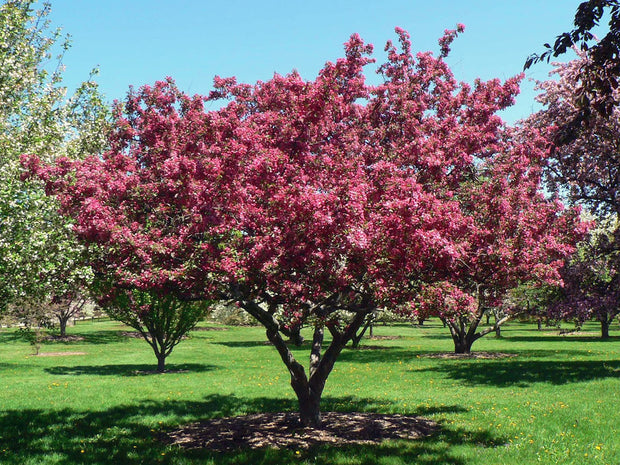 flowering indian magic crabapple tree arboradvisor of colorado