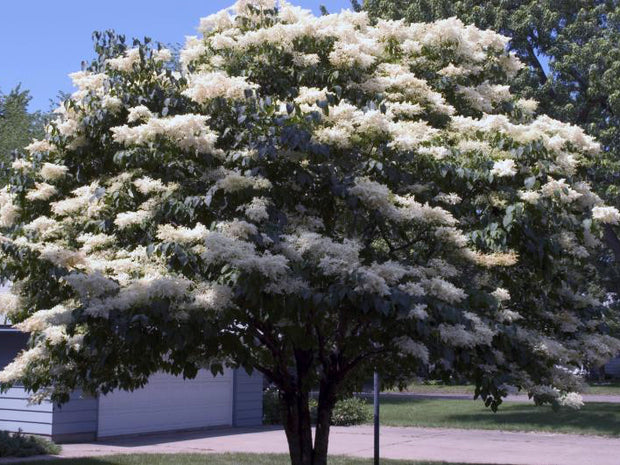 flowering japanese lilac tree arboradvisor of colorado