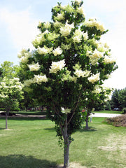 japanese lilac tree arboradvisor of colorado