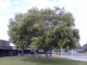 japanese pagoda tree arboradvisor of colorado