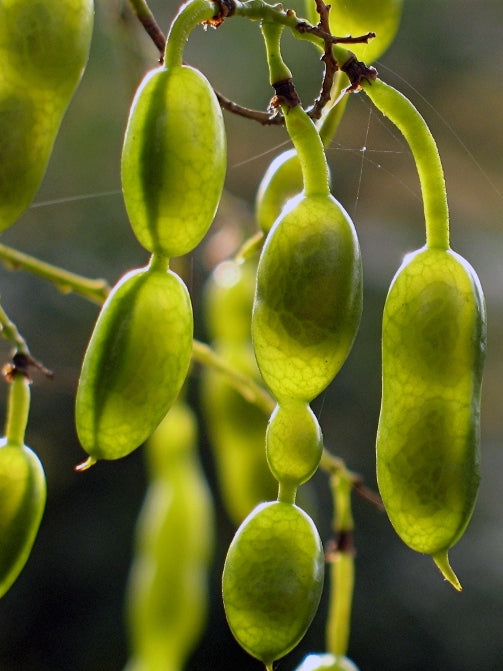 pods of a japanese pagoda tree arboradvisor of colorado
