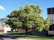 flowering japanese pagoda tree arboradvisor of colorado