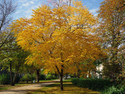 fall colors of a kentucky coffeetree arboradvisor of colorado