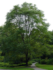 kentucky coffeetree arboradvisor of colorado
