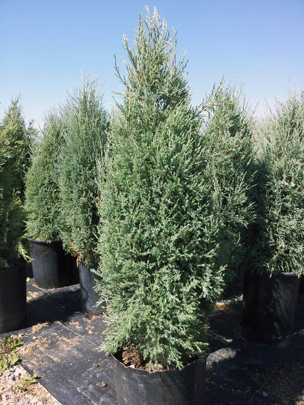 row of medora juniper trees arboradvisor of colorado