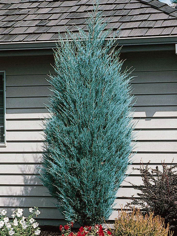 medora juniper tree in a front yard arboradvisor of colorado