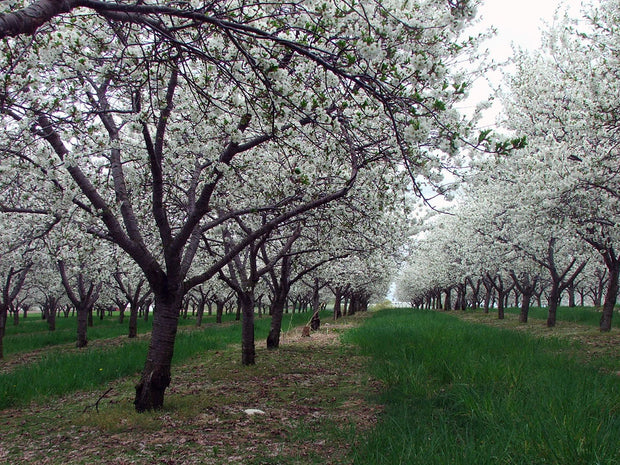 rows of flowering montmorency cherry trees arboradvisor of colorado