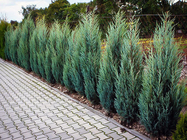 row or hedge of moonglow juniper trees along a driveway arboradvisor of colorado
