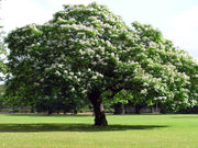 flowering northern catalpa tree arboradvisor of colorado