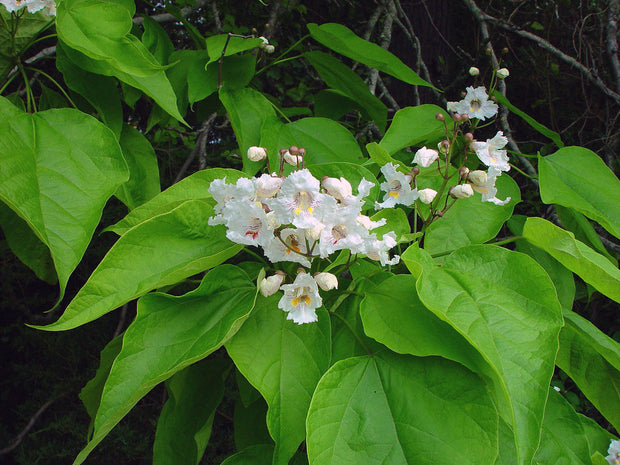 flowers and leaves of a flowering northern catalpa tree arboradvisor of colorado