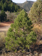 Piñon Pine tree arboradvisor of colorado