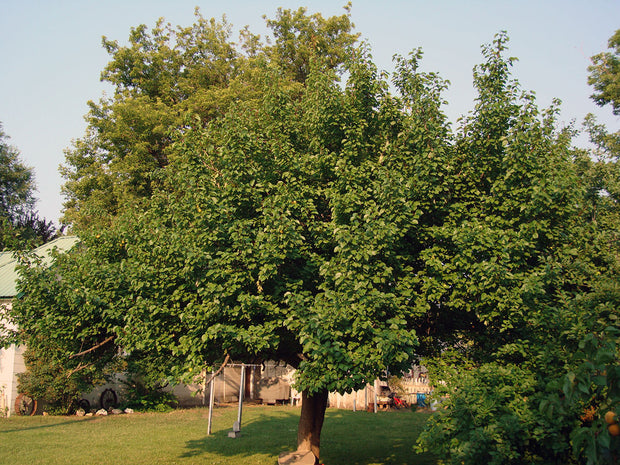 pioneer chinese apricot tree arboradvisor of colorado