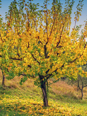 fall colors on a pioneer chinese apricot tree arboradvisor of colorado
