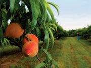 apricots hanging from a pioneer chinese apricot tree arboradvisor of colorado