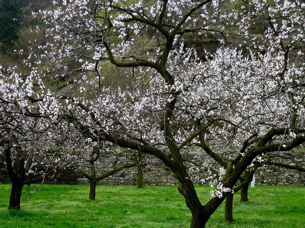 flowering pioneer chinese apricot trees arboradvisor of colorado