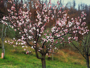 flowering pioneer chinese apricot tree arboradvisor of colorado
