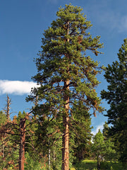 ponderosa pine tree arboradvisor of colorado