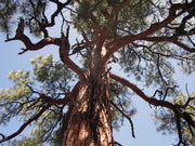 trunk and under canopy of a ponderosa pine tree arboradvisor of colorado