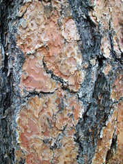 bark of a ponderosa pine tree arboradvisor of colorado