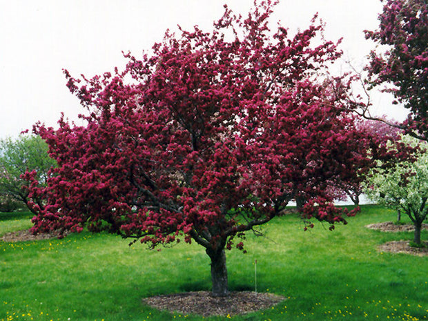 flowering profusion crabapple tree arboradvisor of colorado