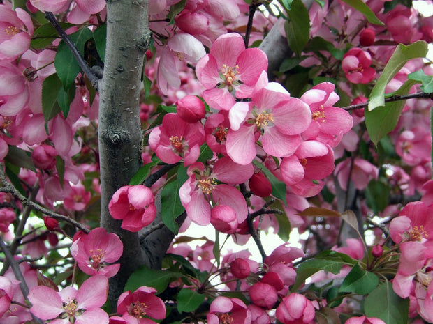 bright pink flowers of a profusion crabapple tree arboradvisor of colorado