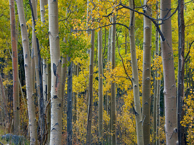 grove of quaking aspen trees arboradvisor of colorado