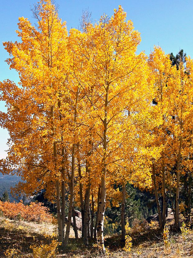 quaking aspen trees in shades of yellow arboradvisor of colorado