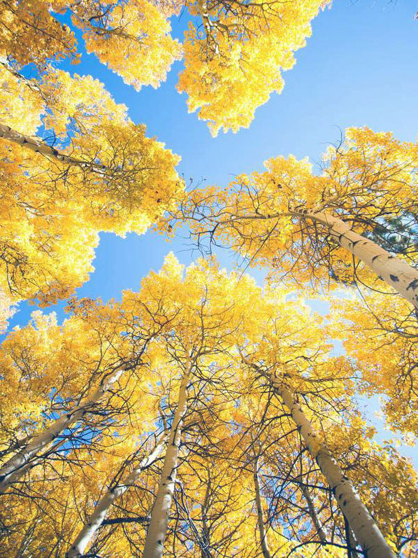 under canopy of quaking aspen trees arboradvisor of colorado